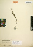Isotype of Lindsaea crassipes Rosenst. [family POLYPODIACEAE]
