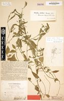 Holotype of Lobelia thomensis Engl. & Diels [family CAMPANULACEAE]