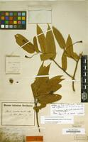 Holotype of Persea amplexicaulis Schltdl. & Cham. [family LAURACEAE]