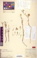 Lectotype of Alstroemeria oreas Schauer [family LILIACEAE]