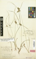 Isotype of Cyperus arenicola Steud. [family CYPERACEAE]