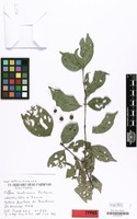 Isotype of Coffea lamtoensis Portères [family RUBIACEAE]
