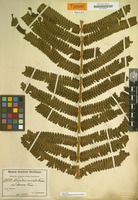Holotype of Dryopteris muricata var. obscura Brause [family POLYPODIACEAE]