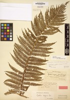 Isotype of Cyathea insignis D.C.Eaton [family CYATHEACEAE]
