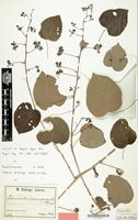 Type of Adenia dinklagei Hutch. & Dalziel [family PASSIFLORACEAE]