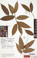 Isotype of Clidemia granvillei Wurdack [family MELASTOMATACEAE]