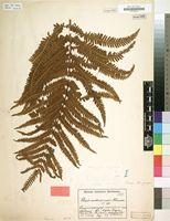 Filed as Pteris mohasiensis Hieron. [family PTERIDACEAE]