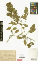 Isotype of Capparis lucida Banks ex DC. [family CAPPARACEAE]
