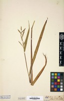 Original material? of Paspalum tenellum Willd. [family GRAMINEAE]