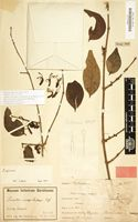 Syntype of Loranthus inaequilaterus Engl. [family LORANTHACEAE]
