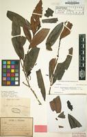 Isotype of Erythroxylum cambodianum Pierre [family ERYTHROXYLACEAE]