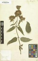 Filed as Monarda rugosa [family LABIATAE]