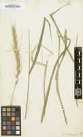 Filed as Elymus philadelphicus [family ]