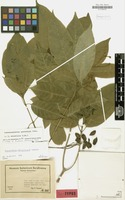 Isotype of Ervatamia obtusiuscula Markgr. [family APOCYNACEAE]
