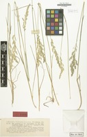 Type of Poa pratensis f. transiens Figert [family GRAMINEAE]