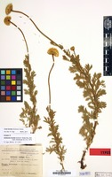 Isotype of Anthemis fulvida Grierson [family COMPOSITAE]