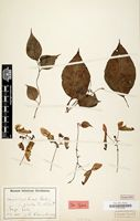 Isotype of Impatiens hians Hook.f. [family BALSAMINACEAE]