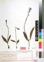 Type of Satyrium rhynchantoides Schltr. [family ORCHIDACEAE]