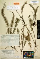 Lectotype of Polypodium flagelliforme Brause [family POLYPODIACEAE]