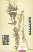 Type of Panicum sucosum Hitchc. & Chase [family GRAMINEAE]