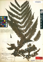 Original material of Dryopteris metteniana Hieron. ex H.Christ [family POLYPODIACEAE]