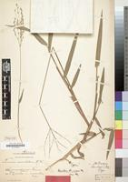 Type of Urochloa quintasii Mez [family GRAMINEAE]