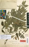 Holotype of Xylopia ulei Diels [family ANNONACEAE]