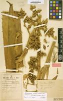 Holotype of Hohenbergia pickelii Harms [family BROMELIACEAE]