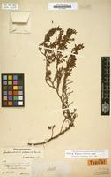 Isotype of Polygonum volcanicum Benth. [family POLYGONACEAE]