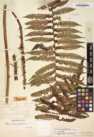 Type of Alsophila unguis-cati Fée [family CYATHEACEAE]