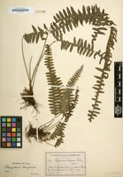 Type of Polypodium laxifrons var. lividum Kuhn [family POLYPODIACEAE]