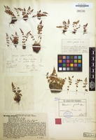 Original material of Woodsia glabella R.Br. [family POLYPODIACEAE]