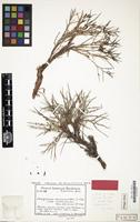 Type of Polygonum spinosum H.Gross [family POLYGONACEAE]