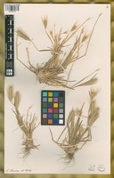 Filed as Hordeum murinum L. [family POACEAE]