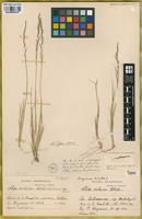Holotype of Stipa violacea Hitchc. [family POACEAE]