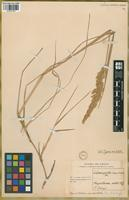 Isotype of Calamagrostis magellanica Phil. [family POACEAE]