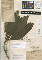 Holotype of Charpentiera australis Sohmer [family AMARANTHACEAE]