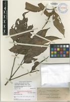 Isotype of Quercus lipacon (Miq.) Rehder [family FAGACEAE]