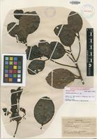 Holotype of Endiandra monticola A.C.Sm. [family LAURACEAE]