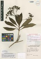 Isotype of Dubautia nagatae (H.St.John) G.D.Carr [family ASTERACEAE]