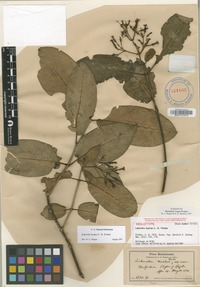 Holotype of Labordia kaalae C.N.Forbes [family LOGANIACEAE]