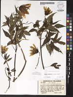 Not a Type of Bidens cosmoides (A.Gray) Sherff [family ASTERACEAE]