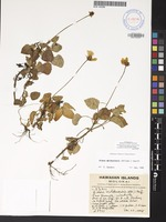 Not a Type of Bidens molokaiensis (Hillebr.) Sherff [family ASTERACEAE]