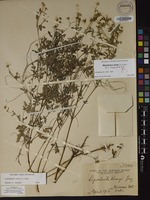 Not a Type of Melanthera remyi (A.Gray) W.L.Wagner & H.Rob. [family ASTERACEAE]
