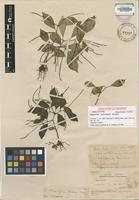 Holotype of Peperomia oblancifolia Yunck. [family PIPERACEAE]