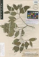 Isotype of Celtis vitiensis (Endl.) Planch. [family ULMACEAE]