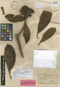 Lectotype of Broussaisia arguta Gaudich. f. ternata C.N.Forbes [family HYDRANGEACEAE]