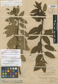 Isotype of Stenogyne purpurea H.Mann var. leptophylla Sherff [family LAMIACEAE]