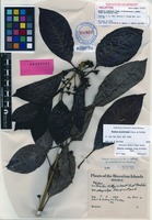 Holotype of Hedyotis acuminata Cham. & Schltdl. f. wailauensis Fosberg [family RUBIACEAE]