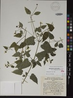 Not a Type of Melanthera subcordata (A.Gray) W.L.Wagner & H.Rob. [family ASTERACEAE]